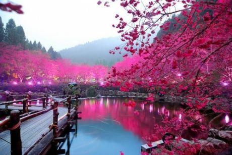 Cseresznyefa virágzás Japánban
